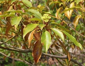 Trochodendron aralioides, Blütenstand und Blätter.