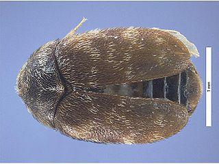<i>Trogoderma</i> genus of insects