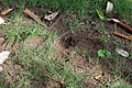 Trou refermé après la ponte d'œufs de femelle d'Agama Agama.jpg