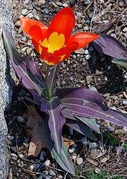 Tulip Tulipa 'Juan' Plant 1872px.jpg