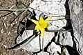Tulipa dasystemon (Liliaceae) (33476671926).jpg