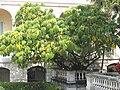 Tupidanthus (Maria Serena).jpg