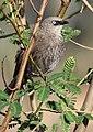 Turdoides melanops -near Sawela Lodge, Lake Naivasha, Kenya-8.jpg