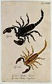 Two scorpions; Buthus caesar and Buthus ceylonicus. Coloured Wellcome V0022417ER.jpg