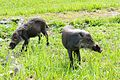 Two young Bearded Pigs (27009856324).jpg