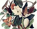 Tyrannus tyrannus (Audubon).jpg