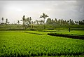 Ubud Rice Fields.jpg