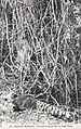 Un lacis de lianes dans la forêt vierge-Congo Français.jpg