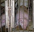 Undercover Investigation at Manitoba Pork Factory Farm (8251139972).jpg