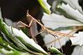 Unknown mantidae (14338791307).jpg