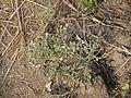 Uppusenaga (Telugu- ఉప్పుసెనగ) (5354137199).jpg