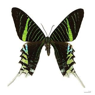 Uraniidae family of insects
