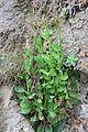 Valeriana integrifolia Phil. - Flickr - Pato Novoa (2).jpg