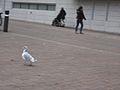 Vancouver-Birds-Seagull2.jpg