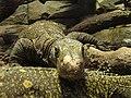 Varanus salvadorii.001 - Zoo Aquarium de Madrid.JPG