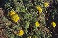 Variety of Desert Parsley (Lomatium), Greater Sage Grouse Lek Count Near Steens Mountain, April 2016 (27121044215).jpg