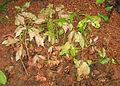 Vateria Indica saplings.jpg