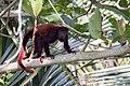 Venezuelan red howler Araguato (Alouatta seniculus) (24871626566).jpg
