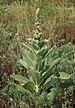 Verbascum phlomoides 2018 G4.jpg