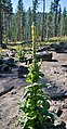 Verbascum thapsus in recently burned area near Blewett Pass summit Chelan County Washington.jpg