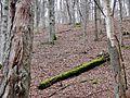 Vermooster Baum im Wald bei Aidlingen - panoramio.jpg