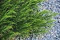 Veronica salicornloides in Christchurch Botanic Gardens 01.jpg