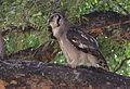 Verreaux's eagle-owl, or giant eagle owl, Bubo lacteus eating a snake at Pafuri, Kruger National Park, South Africa (20064378573).jpg