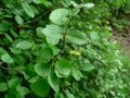 Viburnum ellipticum 07536.JPG