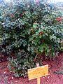 Viburnum lantana Plant DehesaBoyalPuertollano.jpg