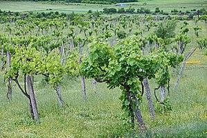 Agriculture in Albania - Vineyard in Përmet.