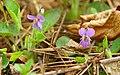 Viola hirta 03.jpg