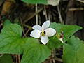 Viola ocellata.jpg
