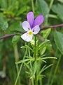 Viola tricolor Fiołek trójbarwny 2020-06-29 02.jpg