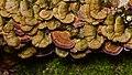 Violet-toothed Polypore (Trichaptum biforme) - Algonquin Provincial Park 2019-09-24 (03).jpg