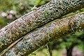 Vitex agnus-castus in Hackfalls Arboretum (3).jpg