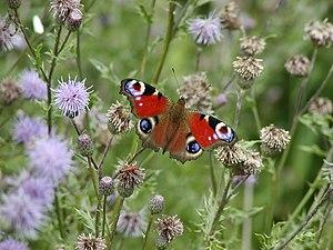 Nederlands: Vlinder in de Moerputten