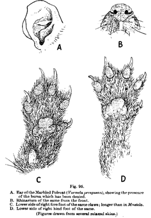 Marbled polecat - Paws, nose and ear, as illustrated in Pocock's The Fauna of British India, including Ceylon and Burma - Mammalia Vol 2