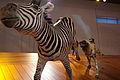 WLANL - kwispeltail - Wilde hond met zebra.jpg