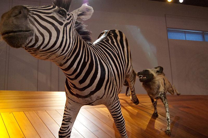 File:WLANL - kwispeltail - Wilde hond met zebra.jpg