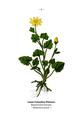 WWB-0022-006-Ranunculus ficaria.png