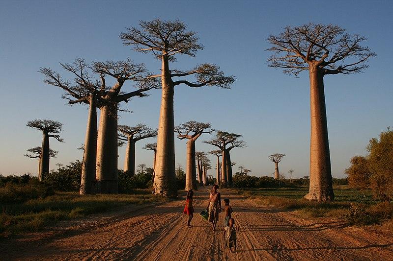 Regreso al Milenio Perdido 800px-Walking_the_Avenue_of_the_Baobabs