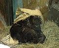 Washington DC Zoo - Hybrid Pongo - 1.jpg
