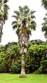 Washingtonia robusta in Auckland Botanic Gardens 02.jpg