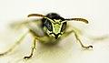 Wasp (9550401328).jpg