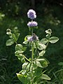 Water Mint - geograph.org.uk - 537005.jpg