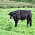 Welsh Black cow at Llanddewi Brefi, in Ceredigion, Wales.jpg