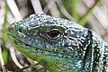 Western Green Lizard - Lacerta bilineata (16389935563).jpg