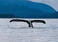 Whale tail near Juneau, Alaska.jpg