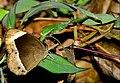 White-bar Bushbrown (Mycalesis anaxias)-Chembra -Wayanad-DSC 6645-.jpg