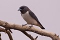 White-breasted Woodswallow (Artamus leucorynchus) (8079684101).jpg